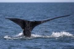 Les humains sont impliqués dans la moitié des décès de baleines franches