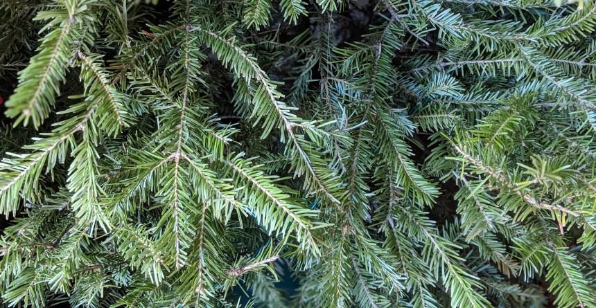Collecte des arbres de Noël à Saint-Laurent