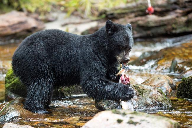 L'ours noir doit se nourrir de diverses espèces pour rester en santé