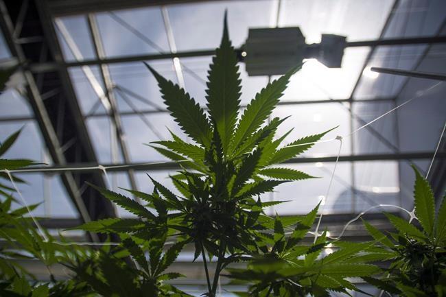 Culture du cannabis: des plaintes contre les mauvaises odeurs