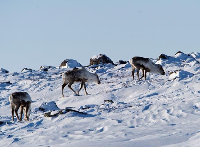 Avant l'orignal, le caribou