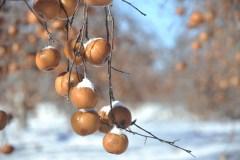Aller aux pommes en plein hiver