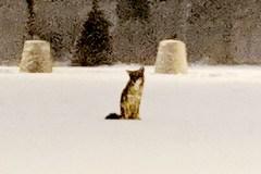 Présence de coyotes aux abords de la carrière Lafarge