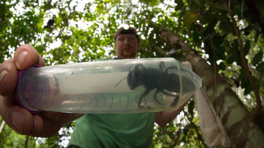 La plus grosse abeille du monde retrouvée en Indonésie