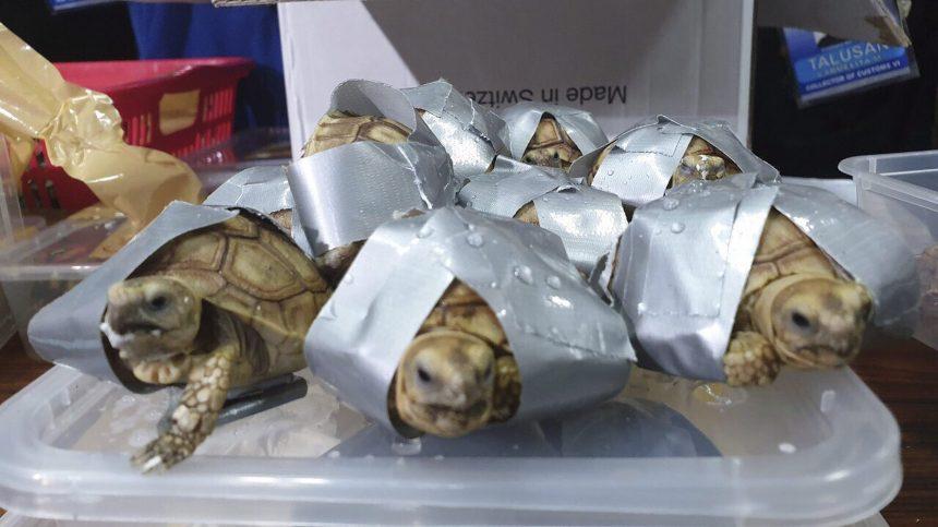 Plus de 1500 tortues retrouvées dans des valises aux Philippines