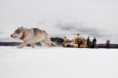 Des loups pourraient trouver une maison au parc national de l'Isle Royale