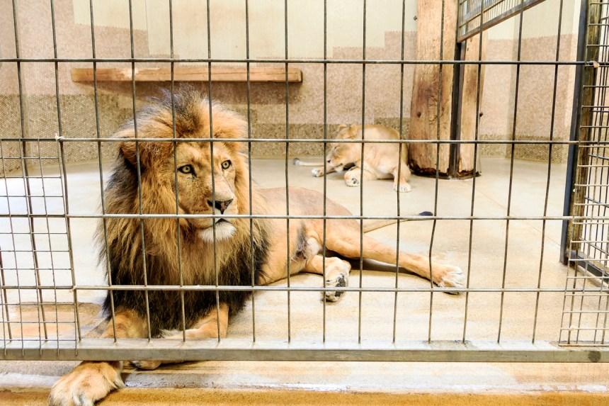 Un Tchèque est tué par un lion qu'il élevait sans autorisation