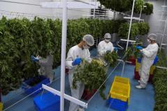 En Uruguay, une première récolte de cannabis médicinal destinée à l'export