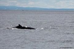 Des chercheurs étudieront la biodiversité du fleuve Saint-Laurent