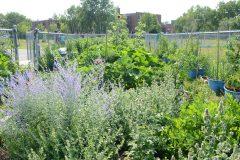 L'agriculture urbaine pour réduire les déserts alimentaires