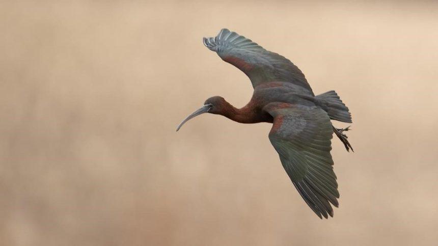 La présence insolite d'un ibis falcinelle fait courir les ornithologues en Nouvelle-Écosse