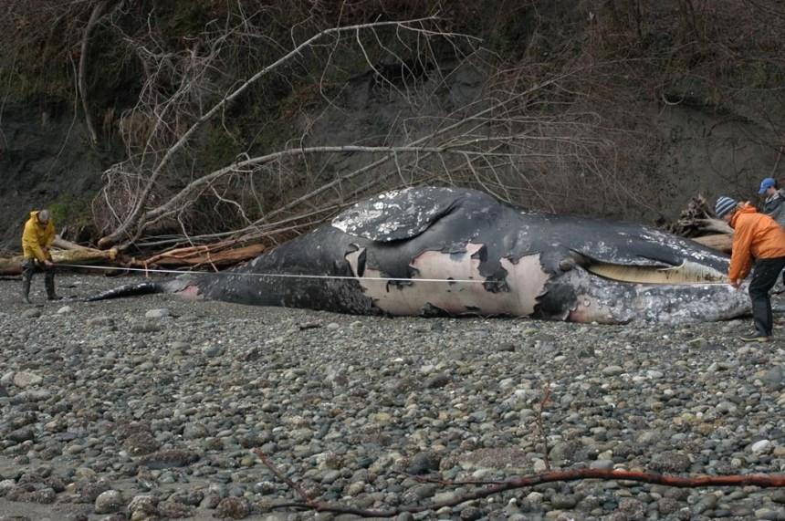 Une mortalité «inhabituelle» des baleines grises sur la côte ouest