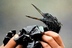 Marées noires: les dispersants chimiques menacent aussi la vie aquatique