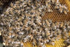 Pollinisateurs: l'ONU sonne l'alarme pour la Journée mondiale des abeilles