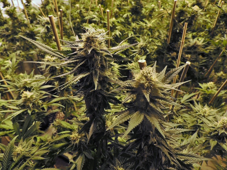 Interdiction du cannabis à Saint-Léonard : une règlementation rétrograde, selon l'AQIC