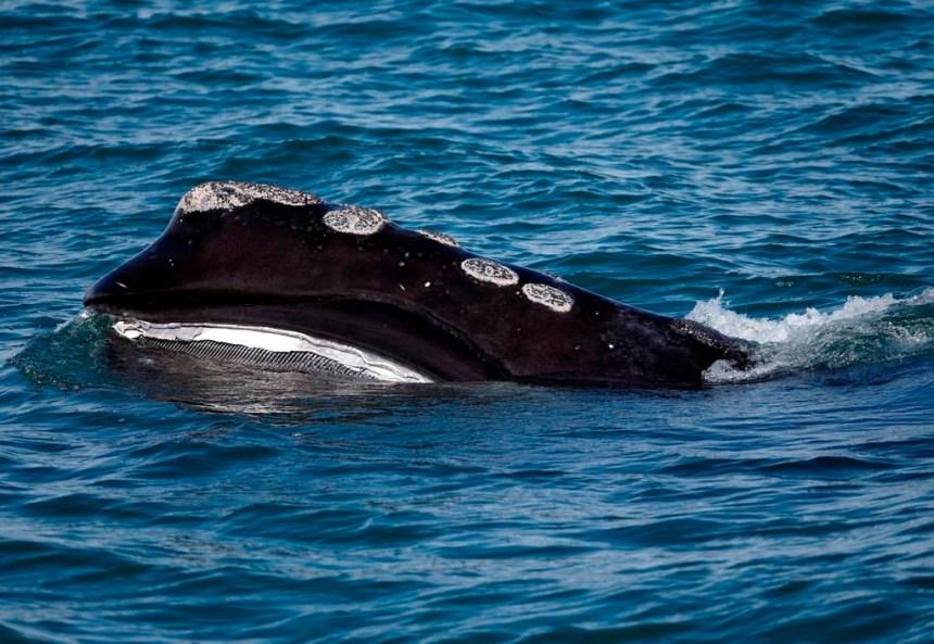 Deux autres baleines noires ont été retrouvées mortes dans le golfe