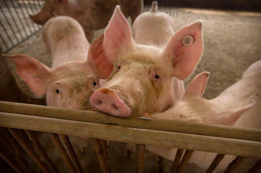 Propos discordants à Québec sur les nouvelles exigences chinoises sur le porc