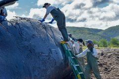 9e décès de baleine noire, cette fois au large du Cap-Breton en Nouvelle-Écosse