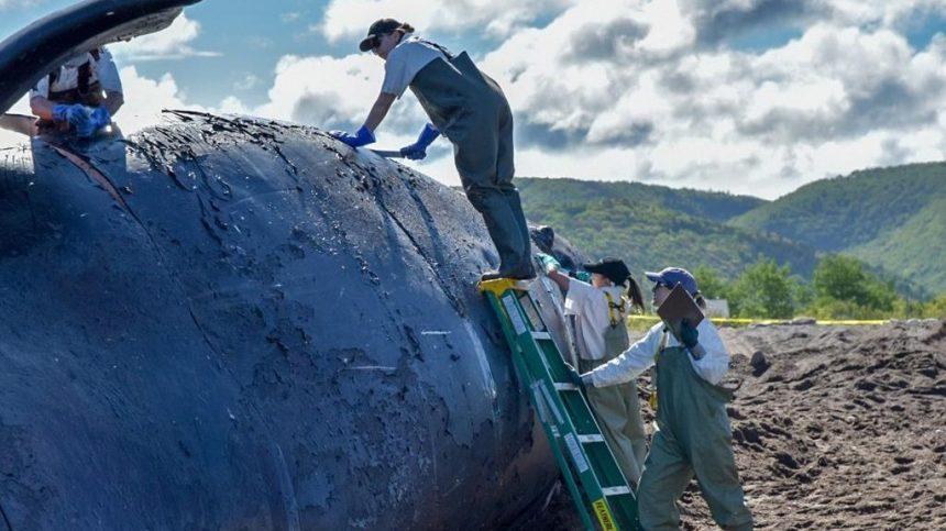 Baleines noires: il reste beaucoup de travail à faire, affirme le ministre