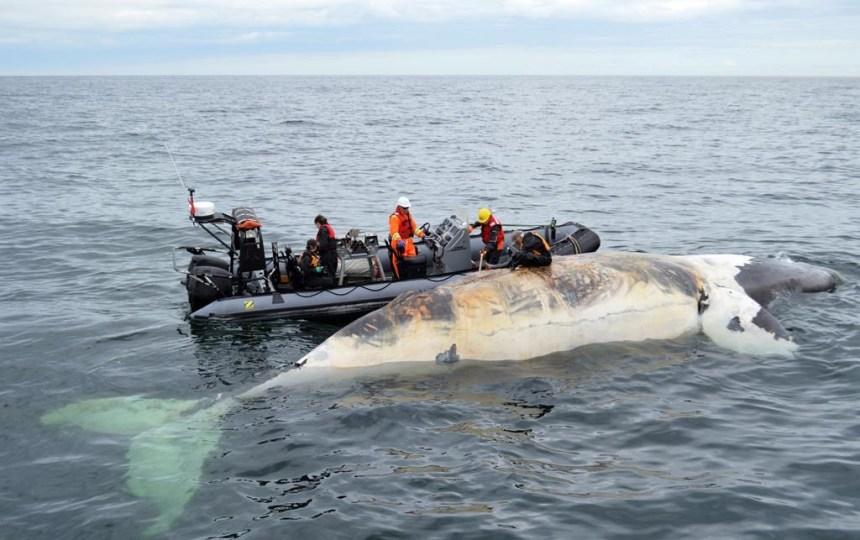 La nécropsie de la baleine noire pourrait commencer vendredi au N.-B.