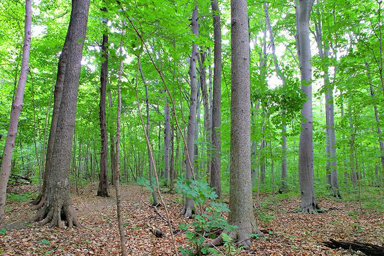 Érable noir : un arbre rare qui se retrouve surtout dans la région de Montréal