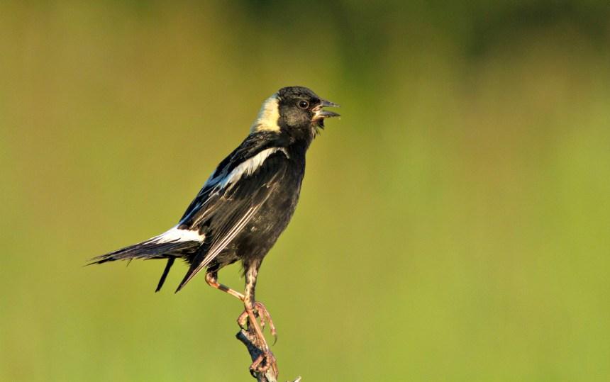 Goglu des prés: déclin dramatique d'un petit oiseau champêtre