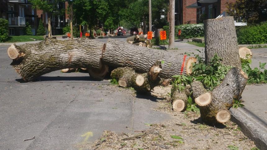 Dix arbres matures abattus sur Saint-Denis