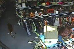 Un cerf fracasse deux vitrines à PAT avant d'être abattu