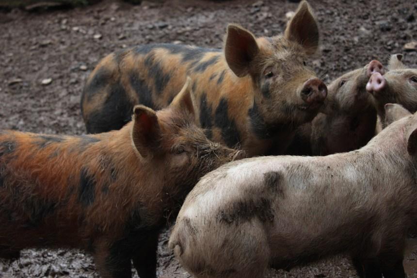 La Chine inspectera davantage les importations de porc canadien