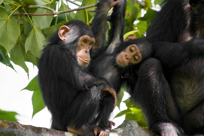 La difficile survie des chimpanzés