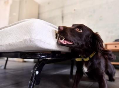 Le chien, meilleur ami de l'homme contre les punaises de lit
