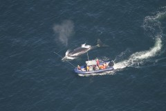 Baleines: des recherches jusqu'à samedi pour récupérer des engins de pêche
