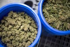 La consommation de cannabis a bondi avant sa légalisation au pays, dit l'ONU