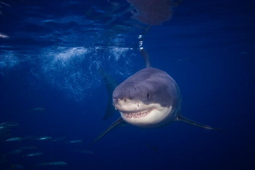 Le requin Brunswick s'éloigne des Îles-de-la-Madeleine, vers le nord-ouest