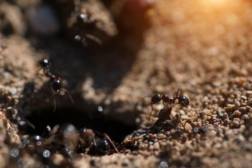 Des fourmis esclavagistes sont arrivées au Nouveau-Brunswick