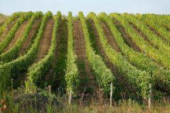 La production de vin attendue à la baisse cette année en France, selon le ministère