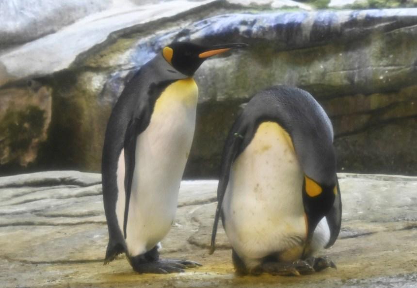 Au zoo de Berlin, des pingouins homosexuels couvent un oeuf