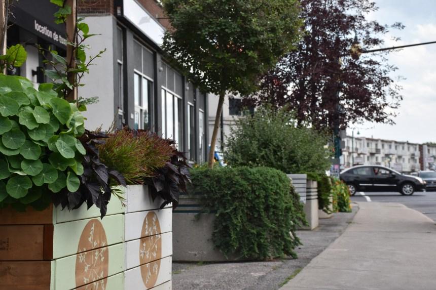 Rue Jean-Talon : des arbres en attendant le corso