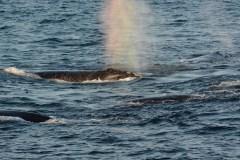 Une baleine a réussi à se libérer d'un «engin de pêche» au large de Micou