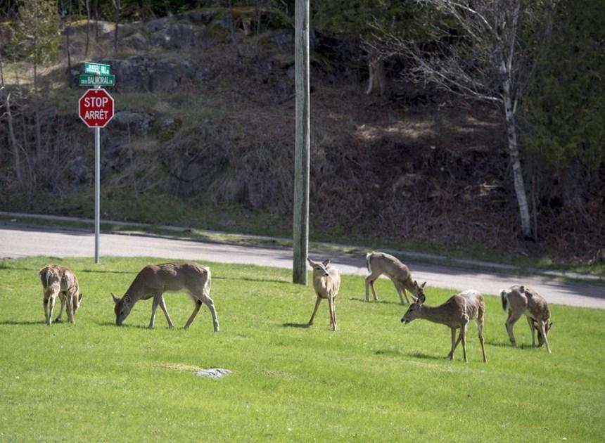 Une chasse contrôlée pour lutter contre l'invasion de chevreuils à Saint-Jean