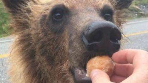 Une amende de 2000 $ pour avoir nourri un ours avec un Timbit