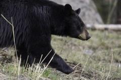 Un ours noir s'invite chez un barbier dans le nord de l'Alberta