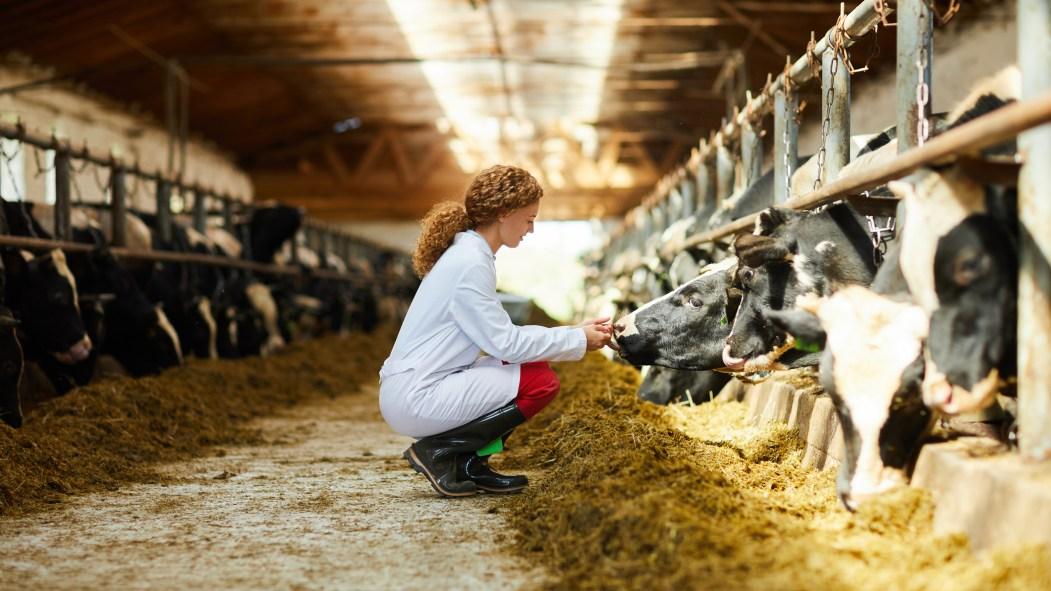 Agriculture: une femme dans une ferme de vaches