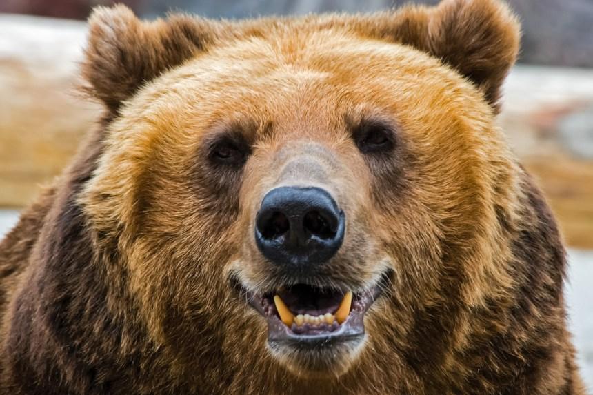 Un compositeur tué par un ours dans le Grand Nord canadien