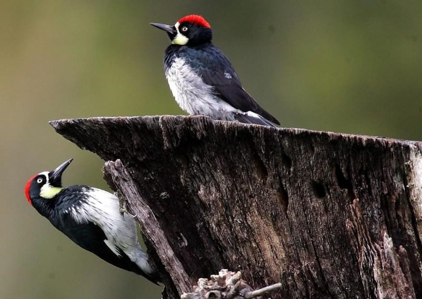 Trois milliards d'oiseaux de moins qu'en 1970 en Amérique du Nord