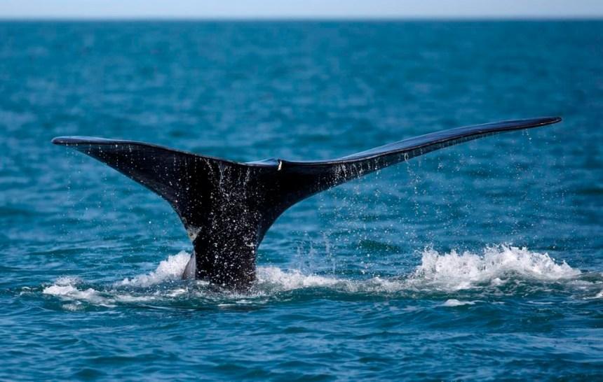 Une nouvelle campagne pour protéger les baleines noires de l'Atlantique Nord