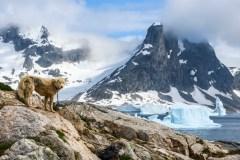 Groenland: les chiens de traîneau sont menacés par la fonte des glaces