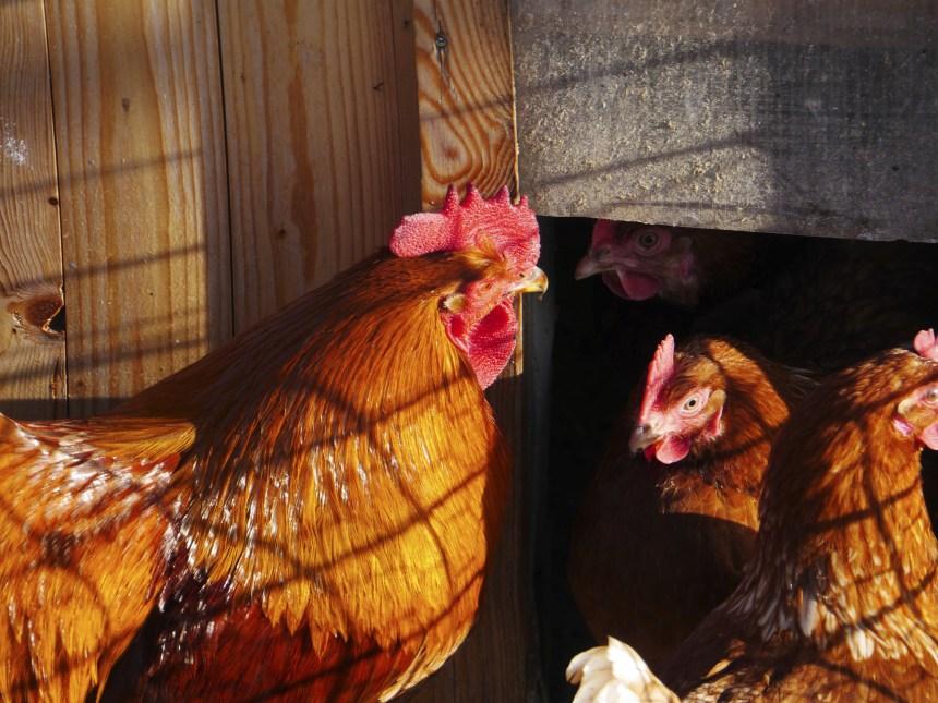 À quand des poules urbaines à Saint-Laurent ?