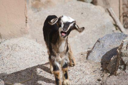 Tesla: remplacez votre klaxon par un cri de chèvre