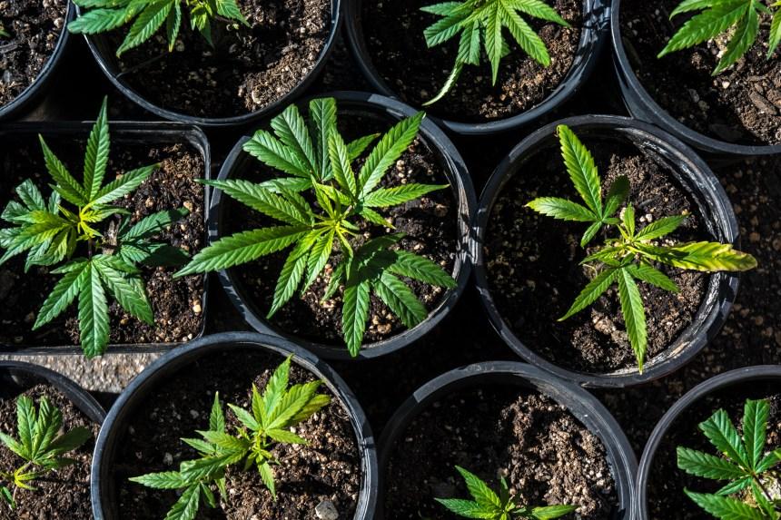 Québec va en appel contre la culture du cannabis à domicile